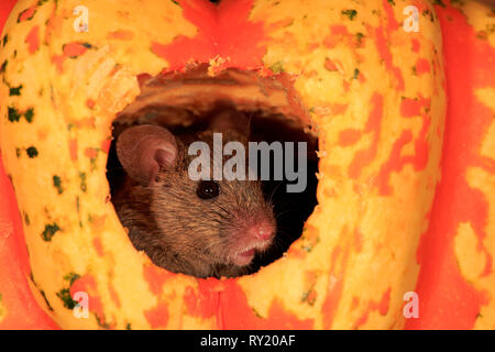 House Mouse, Rhineland Palatinate, Germany, Europe, (Mus musculus) - Stock Photo
