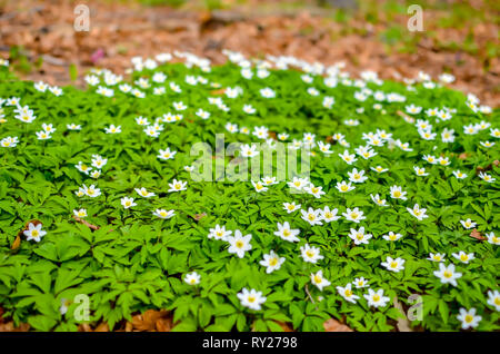 Group of white blooming Anemone Ranunculoides in spring forest - Stock Photo