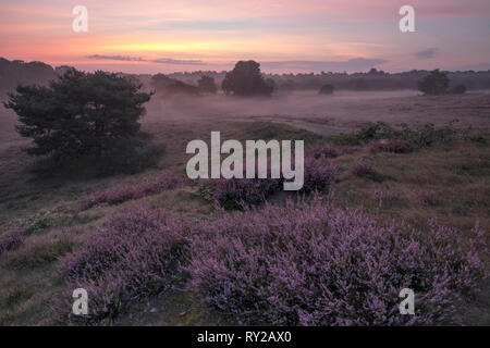 Common Heater, Calluna vulgaris, Westrup Heathland, North Rhine-Westphalia, Germany - Stock Photo