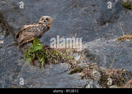 Eagle Owl, juvenile, Hagen, North Rhine-Westphalia, Germany, Bubo bubo - Stock Photo