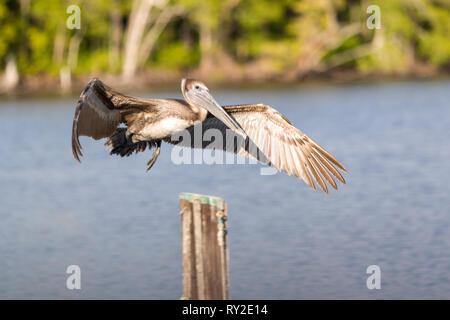 Ein Pelikan im flueg mit auesgebreiteten Flueegeln bei THEMENBILD Florida, 04.02.2017 Bildnachweis: Mario Hommes / HH-Photography - Stock Photo