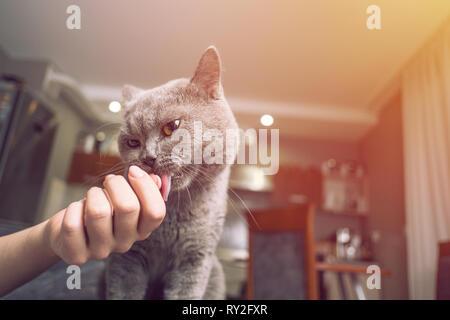 cat caresses about the hand of woman, close up, owner is stroking cat, sniffs owner finger - Stock Photo