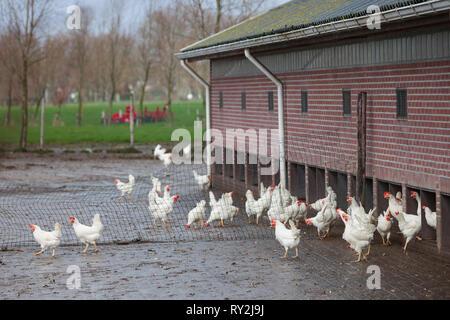 free roaming white chickens on organic farm near utrecht in the netherlands - Stock Photo