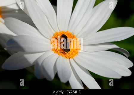 A small bee gathers pollen on the flower of a giant marguerite. - Stock Photo