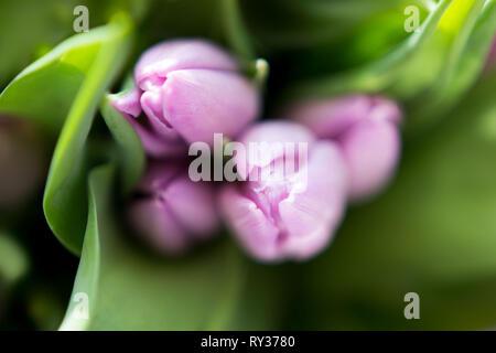 Beautiful bouquet of many small lavender tulips Tulipa for celebration. - Stock Photo