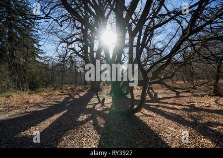 Dwarf Beech, Primeval forest Urwald Sababurg, Hofgeismar, Weser Uplands, Weserbergland, Hesse, Germany - Stock Photo