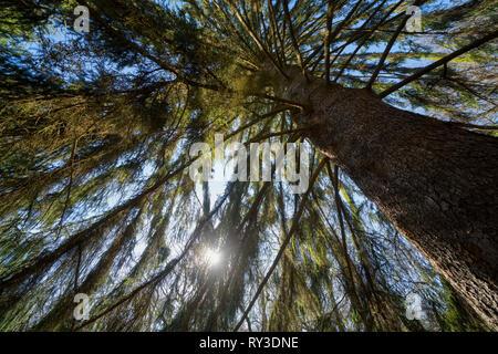Spruce, Primeval forest Urwald Sababurg, Hofgeismar, Weser Uplands, Weserbergland, Hesse, Germany - Stock Photo