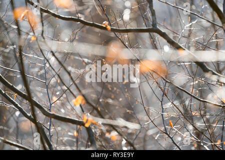 Primeval forest Urwald Sababurg, Hofgeismar, Weser Uplands, Weserbergland, Hesse, Germany - Stock Photo