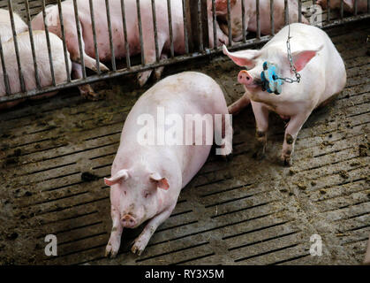Ense, North Rhine-Westphalia, Germany - Modern fattening stable, the modern pigsty provides for more animal welfare among other things by more place o - Stock Photo