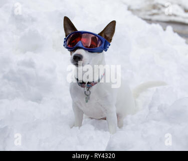 Small mostly white Jack Russell Terrier dog sitting in snow while wearing blue ski goggles on a cold winter day - Stock Photo
