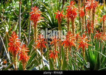 Valencia Botanical Garden, flowering red aloe Spain