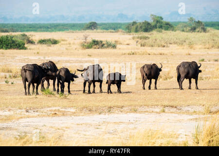 Large herd of African buffalo (syncerus caffer) heading towards Victoria Nile river in Murchison Falls National Park, Northern Uganda, East Africa - Stock Photo