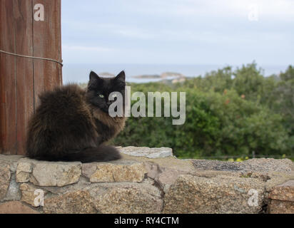 Dark brown cat sits on stone wall with sea view over the macchia in Sardinia, Italy. - Stock Photo
