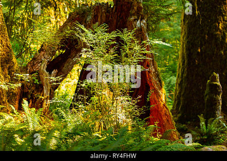 green delicate fern and tree grow from nurse logs - Stock Photo