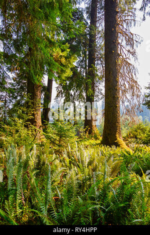 tall forest trees on the edge of fern covered clearing - Stock Photo