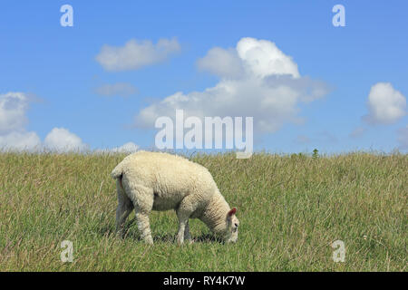 A lamb grazes on a dyke on the Island of Sylt - Stock Photo