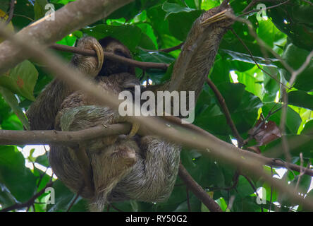 Using huge claws a Brown-Throated Three-Toed Sloth mother with baby secure against her stomach clings to branches just under the upper jungle canopy