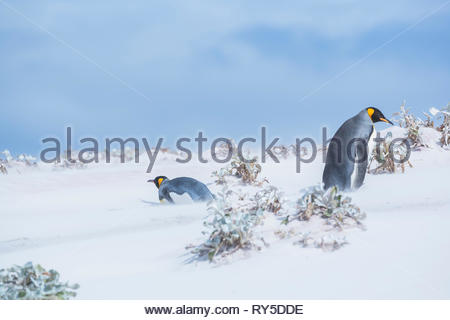 King penguins caught in a sand storm, Volunteer Point, East Falkland, Falkland Islands, - Stock Photo