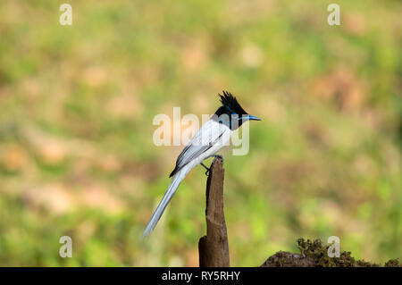 Indian Paradise flycatcher, white morph, Terpsiphone paradisi, Sattal, Nainital, Uttarakhand, India - Stock Photo