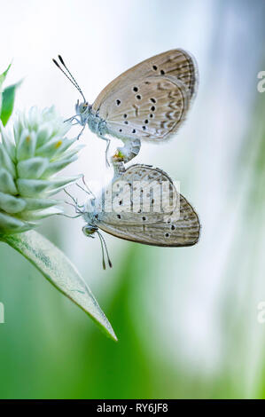 Close-up of butterflies mating on flower - Stock Photo