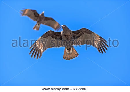 A pair of striated Caracara (Phalcoboenus australis) in flight, Sea Lion Island, Falkland Islands, South Atlantic, South America - Stock Photo