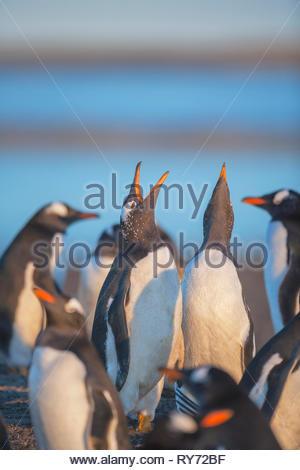 Gentoo penguins singing (Pygocelis papua papua),  Sea Lion Island, Falkland Islands, South Atlantic, South America - Stock Photo