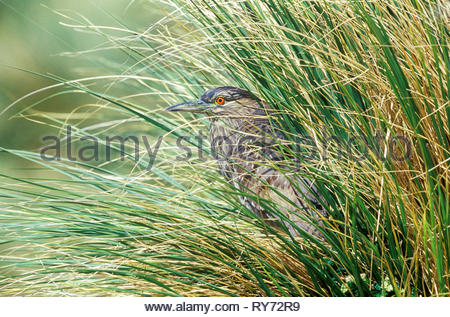 A juvenile black-crowned night heron (Nycticorax nycticorax falklandicus) hunting, Falkland Islands, South Atalantic, South America - Stock Photo