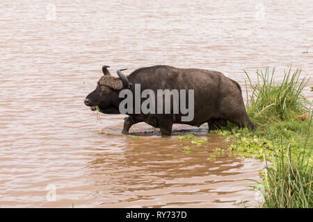Cape Buffalo (Syncerus caffer) feeding on grass in a pond in Lake Manyara National Park, Tanzania - Stock Photo
