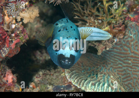 Blackspotted puffer( Arothron nigropunctatus ) swimming over coral reef of Bali, Indonesia, face to face. - Stock Photo