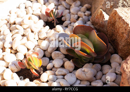 Kalanchoe thyrsiflora Succulent in river stone garden bed - Stock Photo