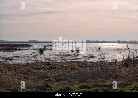 Cumps of soft rush (Juncus effusus) growing in reflecting water of Peizermaden Wetland area near Groningen, Netherlands at sunset - Stock Photo