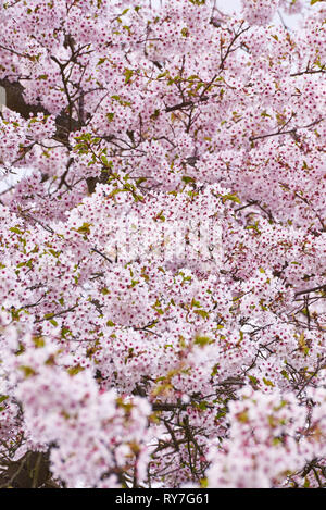 cherry tree blossoms in april - Stock Photo
