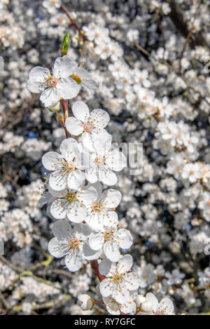 Close Up Of White Cherry Blossoms At Amsterdam The Netherlands - Stock Photo