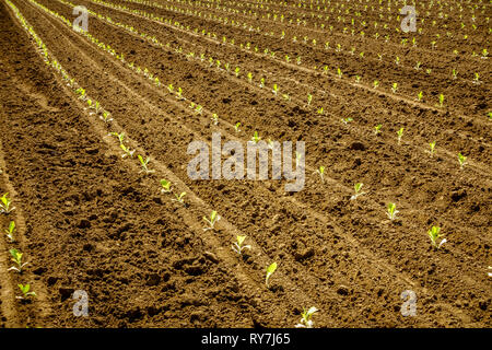 Freshly planted tobacco sprouts in the field in Central Kentucky - Stock Photo