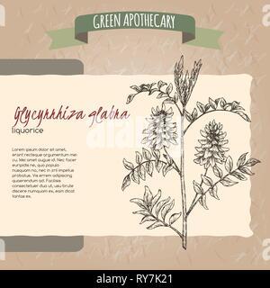 Glycyrrhiza glabra aka liquorice sketch. Green apothecary series. - Stock Photo