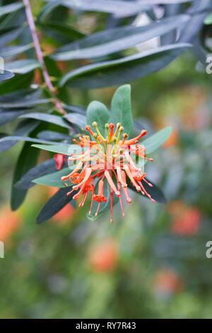 Embothrium coccineum flowers. - Stock Photo