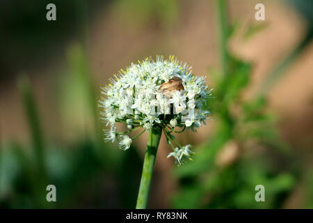 Brown snail hiding inside dense white fully open blooming flowers growing in shape of small round ball on single thick green stem in local garden - Stock Photo