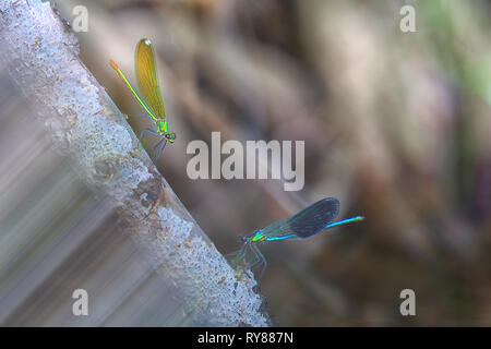Pictorial photo of dragon-fly hanging on plant on white background - Stock Photo