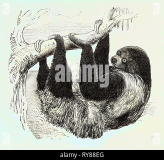 Sloth at the Zoological Gardens, Regent's Park - Stock Photo