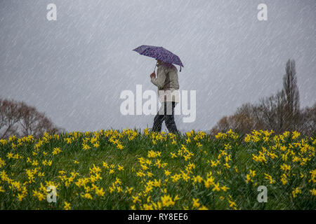 Side view of isolated female, in coat, walking by yellow daffodils on a hillside in a UK countryside park, in pouring rain, holding an umbrella. - Stock Photo