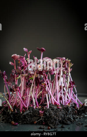 Radish micro greens (sprouts) on a dark background