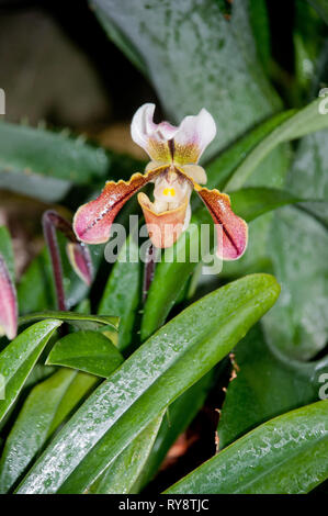 America, United States, Illinois, Chicago Botanical Garden, Lady Slipper Orchid, Paphiopedilum London Wall 'Green Gold' - Stock Photo