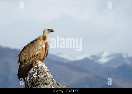 Griffon Vulture (Gyps fulvus), perched on a rock in Aragonese Pyrenees, Aragon, Spain - Stock Photo