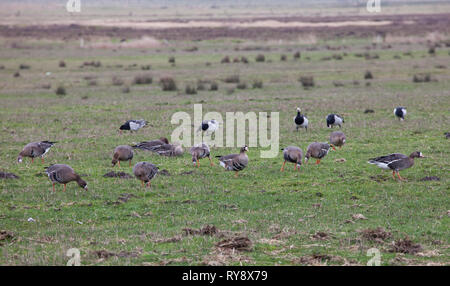 White-Fronted Geese. Anser albifrons, and Barnacle Geese,Branta leucopsis  Large flock grazing in field with Wind Farm in background.Winter. East Fris - Stock Photo