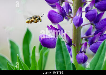 Pollination. Bee flies and collects nectar from a purple lupine. Beautiful picture with blurred background. - Stock Photo