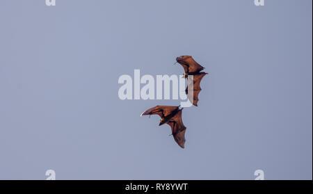 Asia, Sri Lanka, Kandy, Royal Botanic Garden Peradeniya, Indian flying fox, Pteropus giganteus - Stock Photo