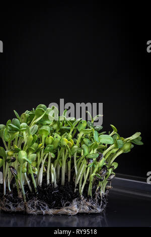 Sunflower micro greens (sprouts) on a dark background as a symbol of spring