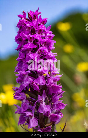 Detail an Early Purple Orchid Flower Spike (Orchis mascula) Growing in a Devon Meadow. - Stock Photo
