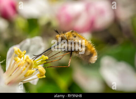 Macro of a 'Bee Fly' hovering while collecting nectar, high detal - Stock Photo