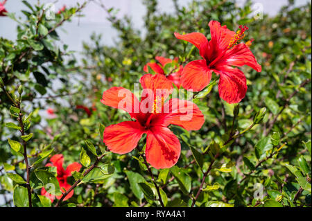 hibiscus flower on a shrub - Stock Photo